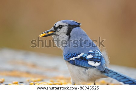 Blue jay feasting on corn kernels