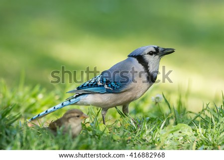 Blue Jay foraging with a young sparrow nearby. Sparrow not in focus. - stock photo