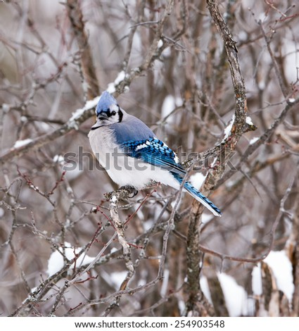 Blue Jay in Winter - stock photo