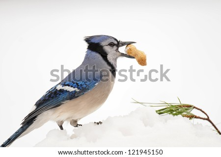 Blue jay in winter with peanut in its beak, against white background
