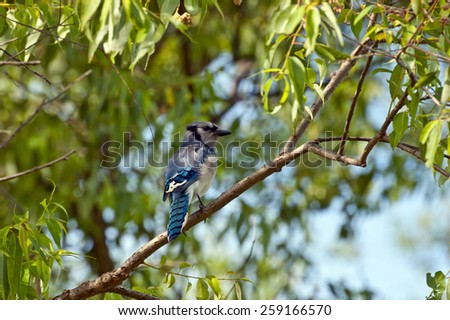 Blue jay on brunch of tree in green background. - stock photo