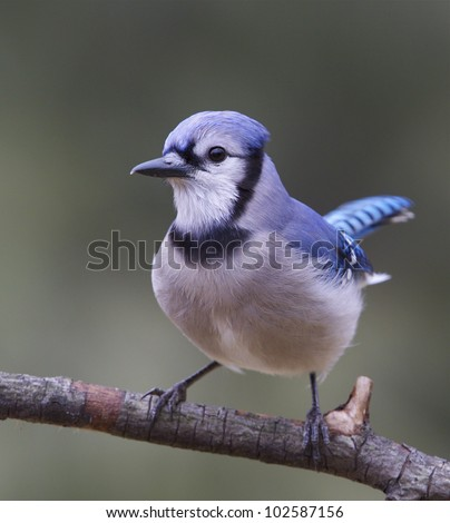 Blue Jay perched, front view, crest relaxed