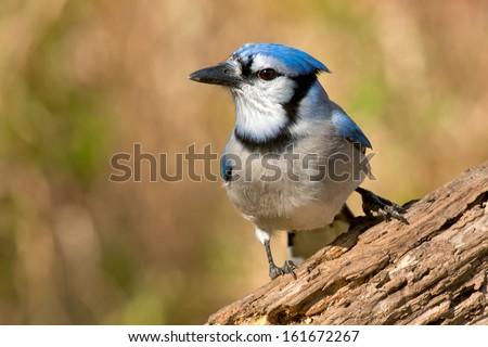 Blue Jay perched on a log.