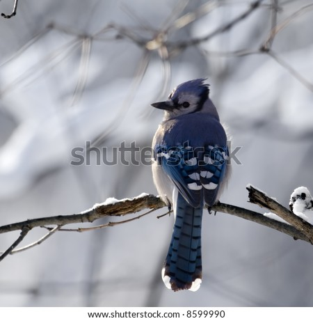 Blue Jay perched on a tree branch with a snowy background - stock photo