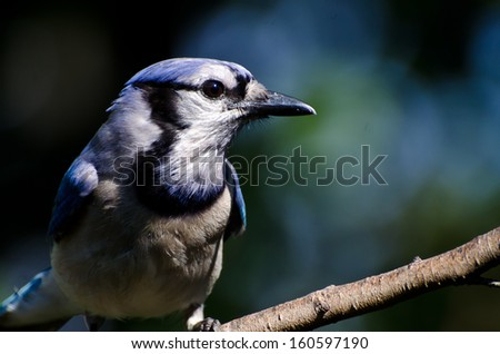 Blue Jay Profile