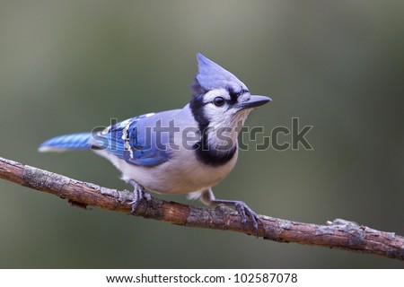 Blue Jay, ready to spring from perch, crest erect - stock photo