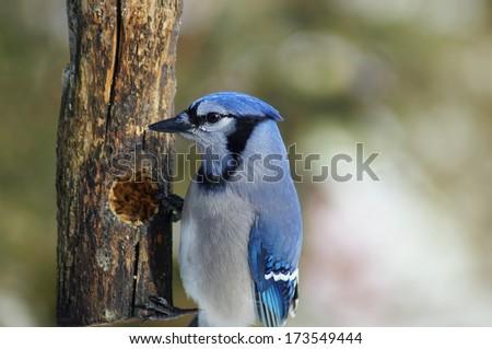 Blue Jay sitting on bird feeder - stock photo