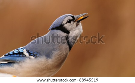 Blue jay with corn in its craw and beak