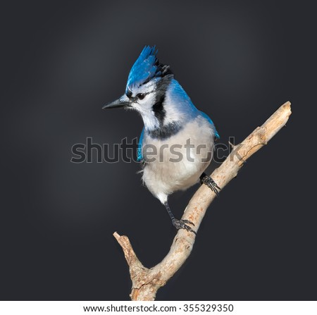 Blue Jay with Open Mouth
