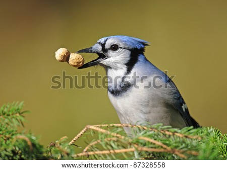 Blue jay with peanut at tip of its beak