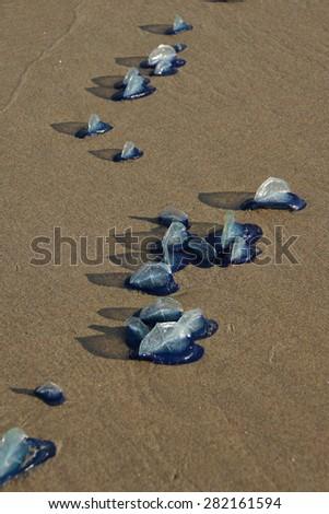 Blue jellyfish  ( Velella velella ) stranded on barnacles,  Otter Crest, Oregon Coast - stock photo