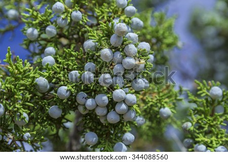 Blue Juniper Berries on a Utah Juniper (Juniperus osteosperma)
