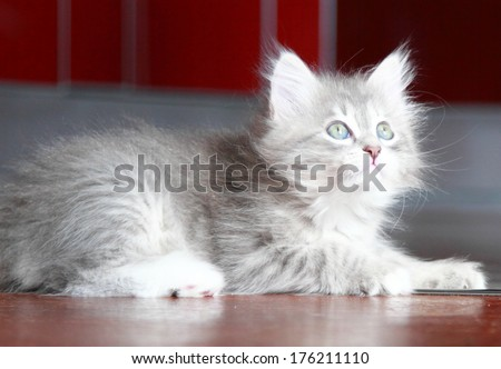 blue kitten of siberian breed at two months