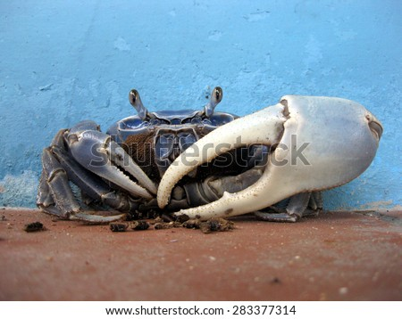 Blue Land Crab For Sale Blue Land Crab Stock Photo
