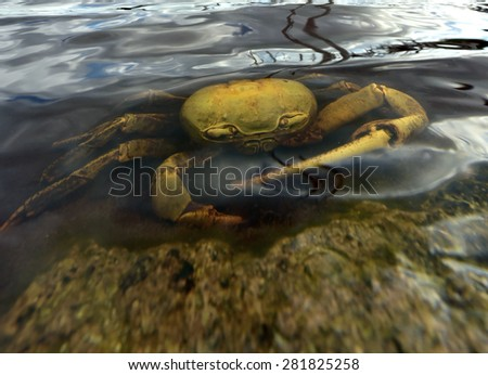 Blue Land Crab (Cardisoma Guanhumi) underwater. Mangrove Land Crab likely to be Cardisoma guanhumi Maria La Gorda Guanahacabibes UNESCO Biosphere Reserve Cuba Caribbe  - stock photo