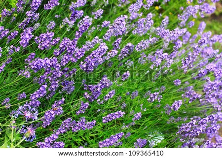 Blue lavender flowers on farm