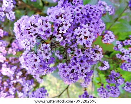 Blue lilac flowers - stock photo