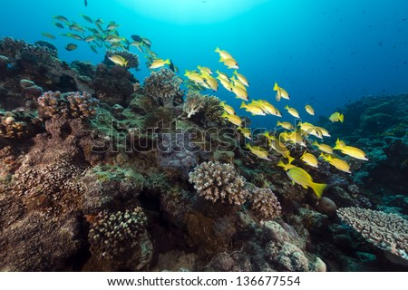 Blue lined snappers in the Red Sea - stock photo