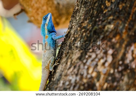 Blue lizar,beauty colorful background blur.