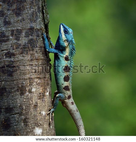 Blue Lizard perching on the tree - stock photo