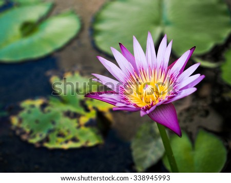 blue lotus and green its leaf