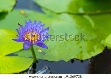 Blue lotus flower in the pond