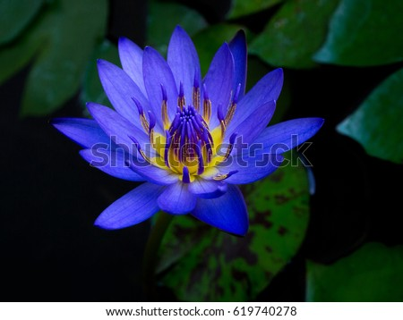 blue lotus flower stock images, royaltyfree images  vectors, Natural flower