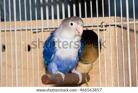 Blue lovebird sitting in front of wooden nest box in the cage