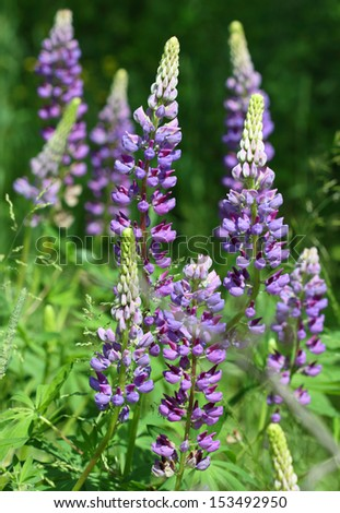 blue lupine flowers in the garden - stock photo