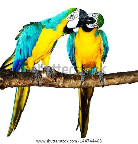 Blue Macaw on white background