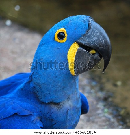Blue macaw parrot. Nature of Brazil. Parque das Aves in Iguazu.