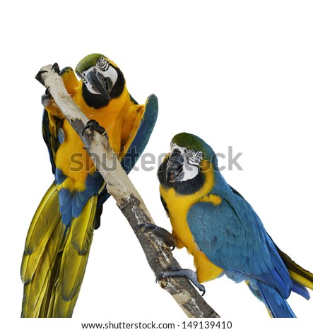 Blue Macaw Parrots On White Background