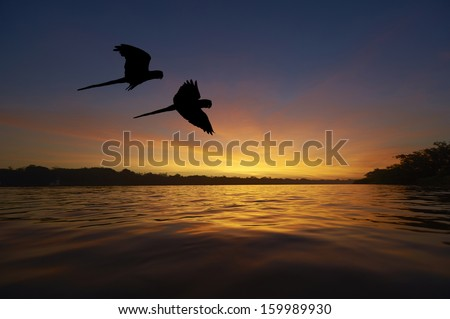 Blue macaws in the Amazon area - stock photo