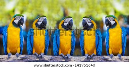 Blue macaws sitting on log. - stock photo