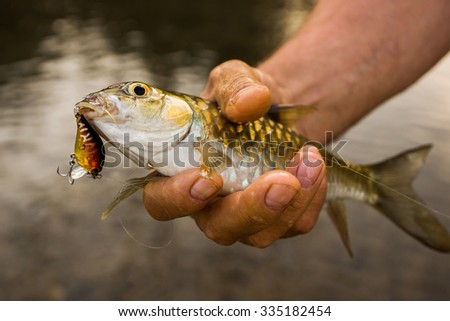 Blue mahseer caught in the lure. Freshwater fishing in Thailand at Cheo Lan lake - stock photo