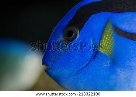 Blue marine tag fish in detail saltwater aquarium hippo tang - stock photo