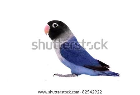 Blue masked lovebird on the white background - stock photo