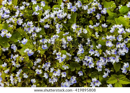 Blue meadow flowers forget-me-not. Myosotis scorpioides. Top view on the grass with flowers - stock photo