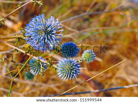 Blue mediterranean thistle on the field in mountains - stock photo