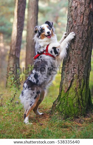 Blue merle Australian Shepherd dog with a red harness standing by the fir tree in the forest