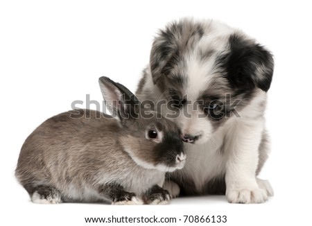 Blue Merle Border Collie puppy, 6 weeks old, and a rabbit in front of white background - stock photo