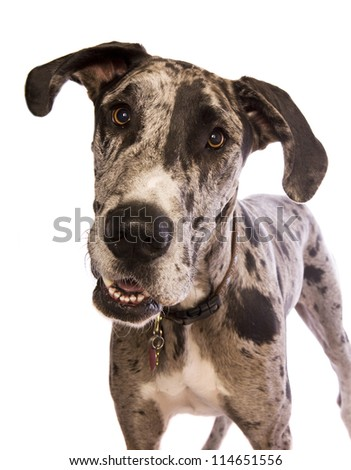 Blue Merle Great Dane standing head shot isolated on white background