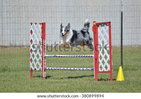 Blue Merle Shetland Sheepdog (Sheltie) Leaping Over a Winged Jump at Dog Agility Trial - stock photo