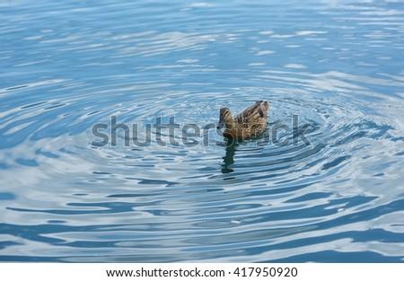 Blue minimalist waterscape with one duck,minimalist misty lake, one duck swimming  over sunrise lake, evening mist covering lake, Marsaxlokk - stock photo