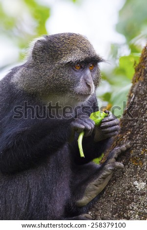 Blue monkey eating in the tree - stock photo
