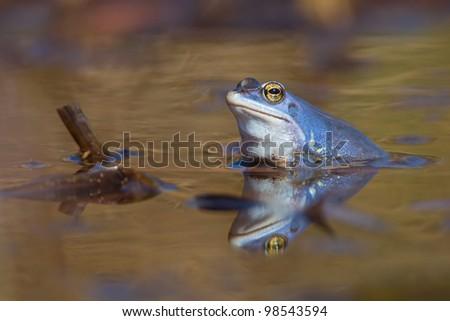 Blue Moor Frog (Rana arvalis) - stock photo
