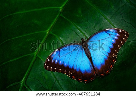 Blue Morpho, Morpho peleides, big butterfly sitting on green leaves, beautiful insect in the nature habitat, wildlife, Amazon, Peru, South America - stock photo