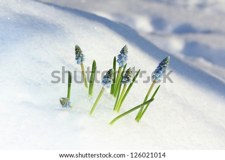 Blue Muscari flowers under the snow. - stock photo