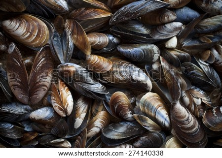 Blue mussel (Mytilus trossulus) shells picked at beach, North-West of Estonia, the Baltic Sea.  - stock photo