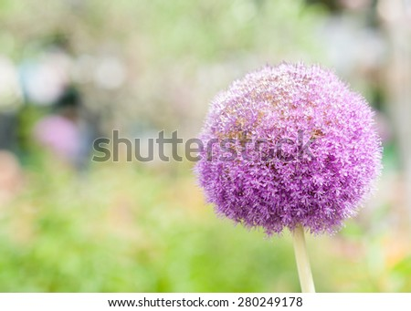 Blue onion flower against blurry nature background. - stock photo